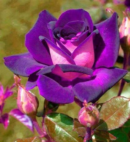 Фото Фиолетовая роза, на зеленом фоне