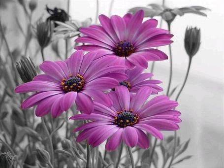 Фото Сиреневые цветы, на черно-белом фоне