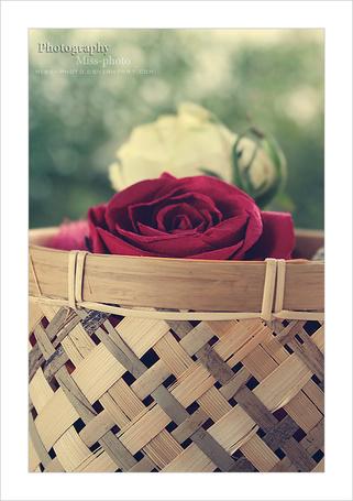 розы в корзине фото красные