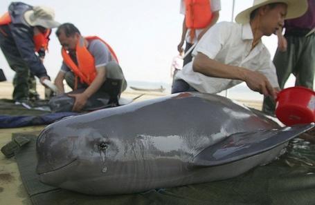Фото Плачущий дельфин, спасенный из рыбацких сетей, Япония