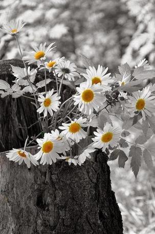 Фото На пеньке дерева лежит букет ромашек