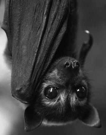 Фото Морда летучей мыши