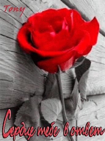 Фото Красная роза превращается в сердце в женских руках (Сердце тебе в ответ)