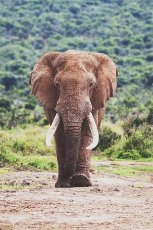 Фото Большой слон идет по тропинке