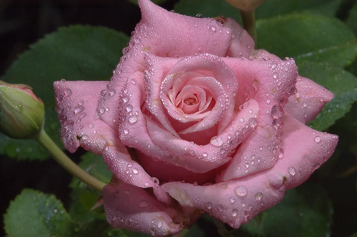 красивые розы с капельками росы фото