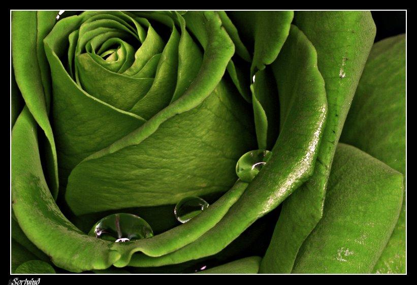 будете открытки поздравления зеленые розы встрече