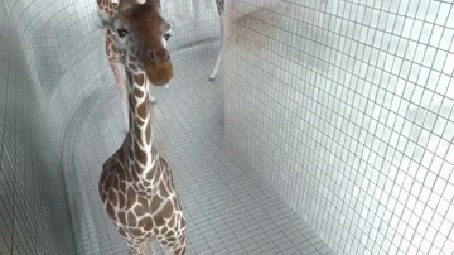 Фото Позитивный жираф показывает язык в камеру наблюдения