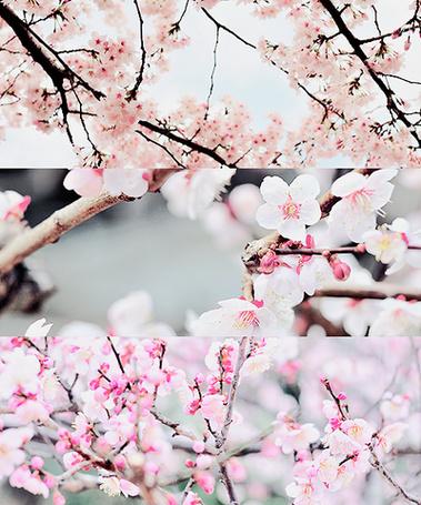 Фото Ветки цветущей сакуры