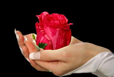 Фото Двухцветная роза в женских руках
