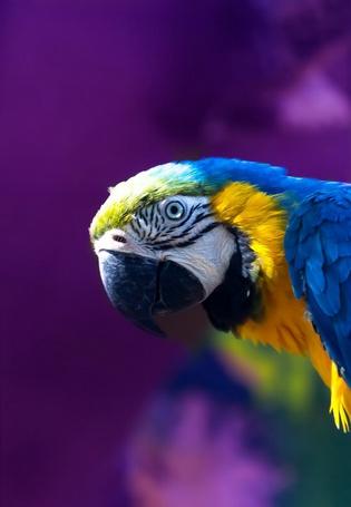Фото Попугай ара на фиолетовом фоне крупным планом