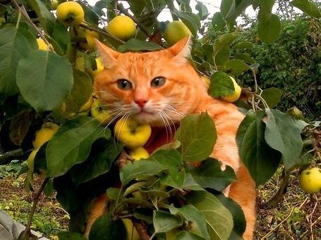 Фото Рыжий кот залез на ветку с яблоками