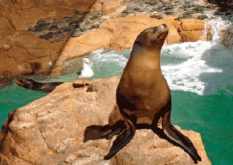 Фото Тюлень загорает на камне, позади него стоит чайка, еще один тюлень плавает в воде
