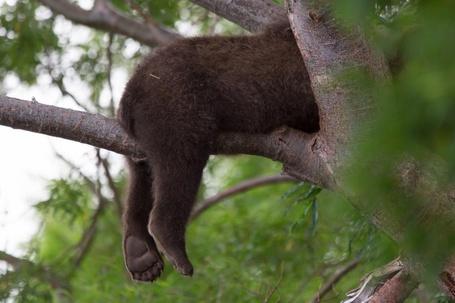 Фото Медвежонок уснул на дереве, работа спящие лапки, фотограф Денис Будьков