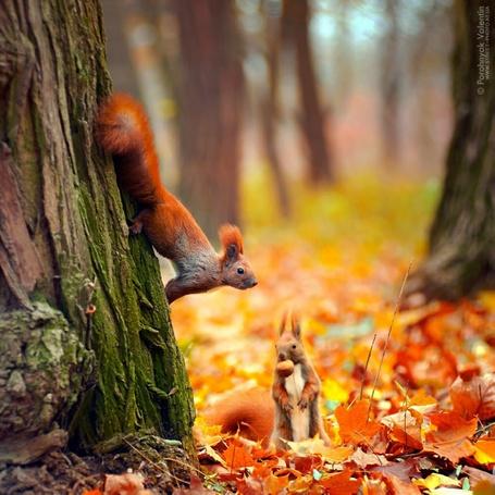 Фото Рыжая белка, сидящая на стволе дерева, другая, стоящая на осенних листьях с орехом во рту