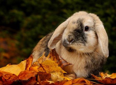Фото Кролик светло бежевого окраса с темными пятнами, стоит полубоком прижав уши, на осенней опавшей листве желтого цвета, фото Alina Kurbiel