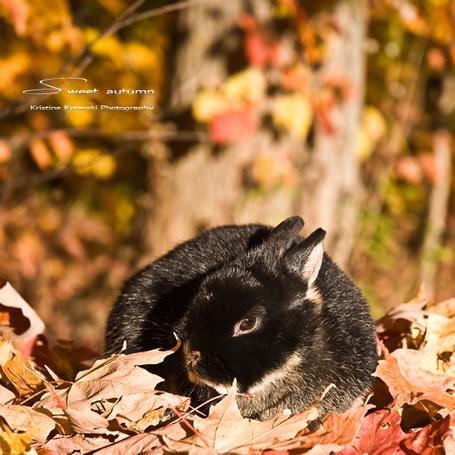 Фото Черный кролик лежит на опавших листьях Sweet autumn / Сладкая осень, автор Kristina Kotarski