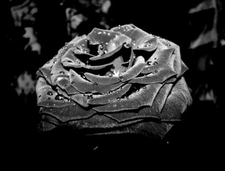 Фото Черная роза в капельках росы, на размытом фоне