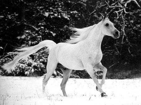 Фото Белая лошадь скачет на фоне зимы