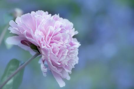 Красивый бутон роза