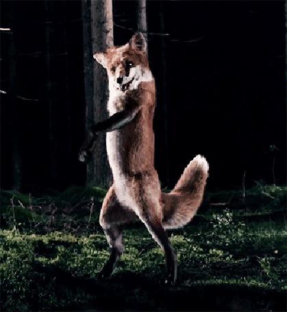 Фото Лис делает танцевальный разворот