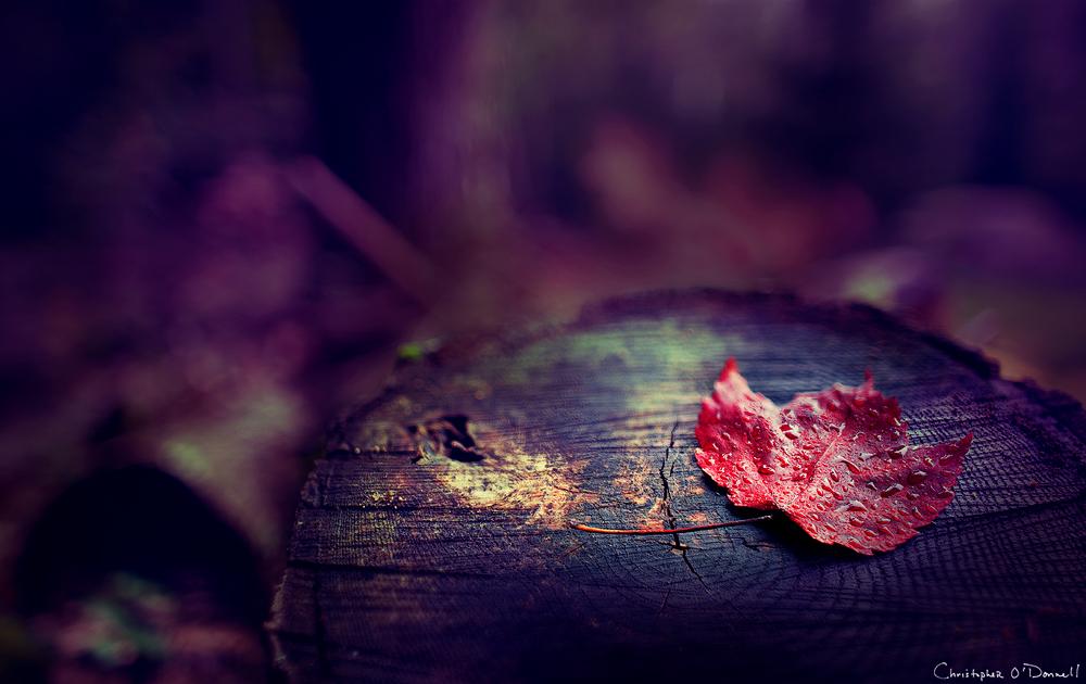 Фото Красный лист в каплях росы лежит на пне, фотограф Christopher ODonnell