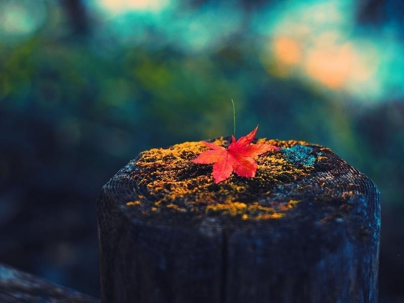 Фото Кленовый лист лежит на пне