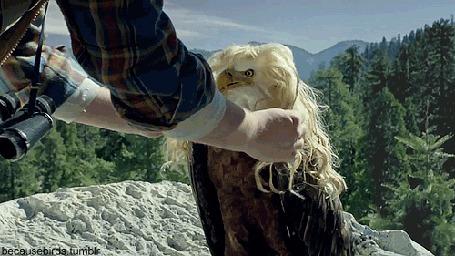 Фото Фотограф причесывает позирующего ему белоголового орлана / Haliaeetus leucocephalus