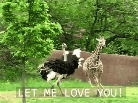 Фото Страус бегает за жирафом, Let me love you / позволь мне любить тебя