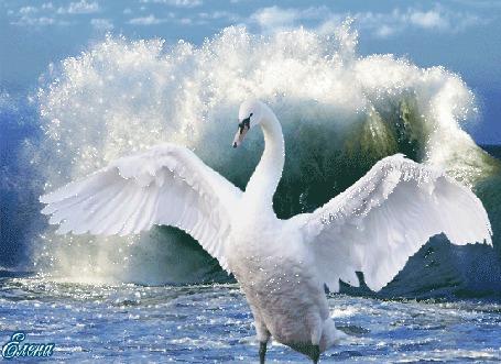 Фото Белый лебедь машет крыльями на фоне морской волны, автор Елена