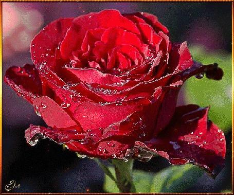 Фото Девушка с украшениями на шее и руке, стоит на фоне красной розы в капельках росы