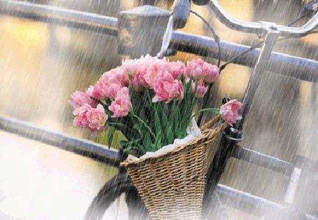 Фото На велосипеде висит корзина с розовыми тюльпанами, идет дождь