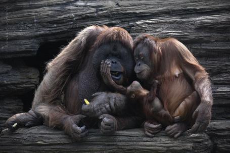 Фото Две обезьяны о чем - то сплетничают, сидя на дереве, одна держит детеныша обезьянку