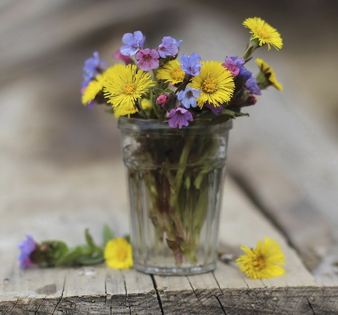 Фото цветов мать и мачехи