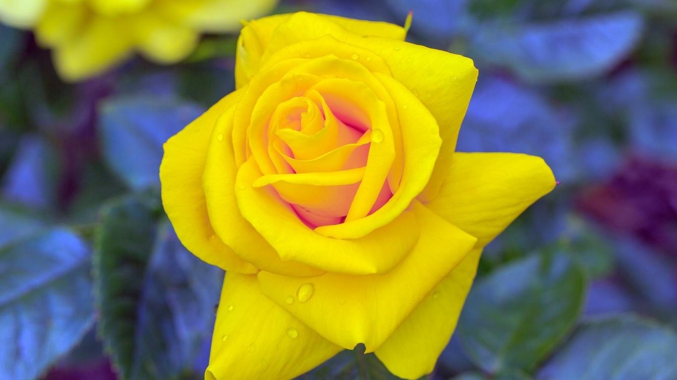 Фото Желтая роза в макросьемке