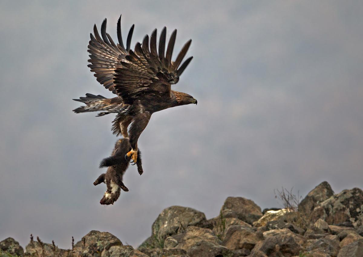 второго хищные птицы на охоте фото конце концов