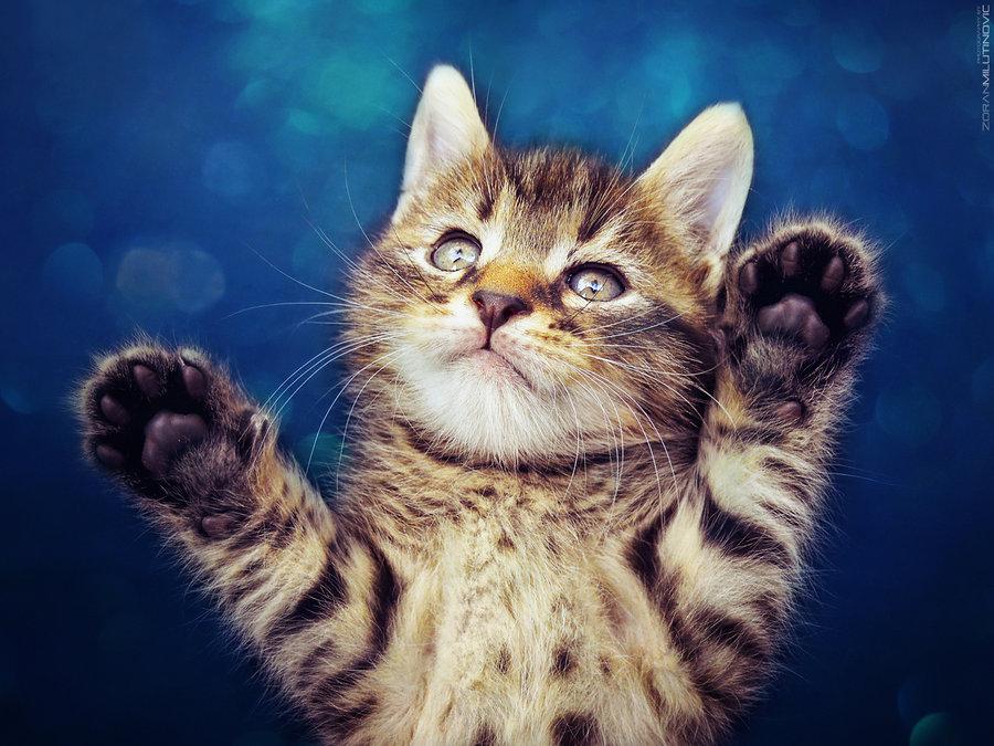 Картинка котенок поднял лапки
