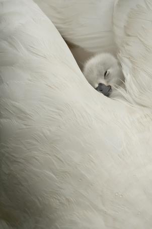 Фото Маленький лебедь спит в перьях свой мамы