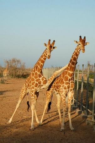 Фото У забора на песке пара жирафов, один положил ногу на шею другому
