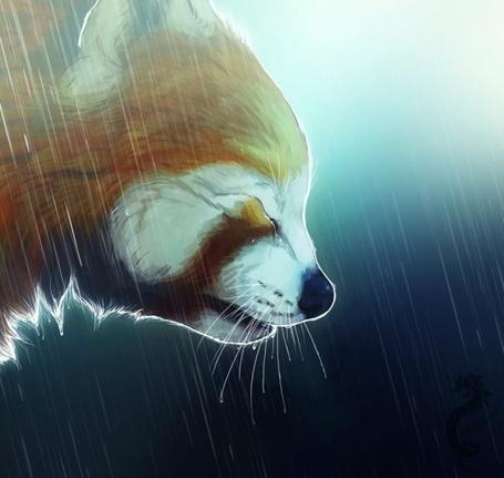 Фото Красная панда идет мокрая под дождем опустив голову и закрыв глаза