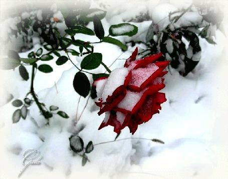 Фото Красная роза, припорошенная снегом