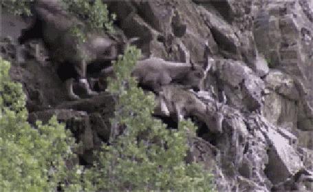 Фото Ревнивый горный козел отомстил изменившей ему своей подруге, столкнув ее со скалы