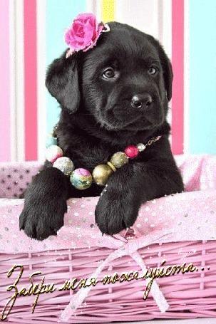 Фото Черный щенок, сидящий в корзине с бусами и розочкой на голове и с надписью (Забери меня.)