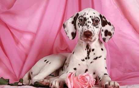 Фото Лежащий щенок с розовой розой на розовом фоне