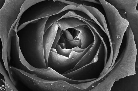 Фото Раскрывшийся цветок розы с капельками росы на лепестках