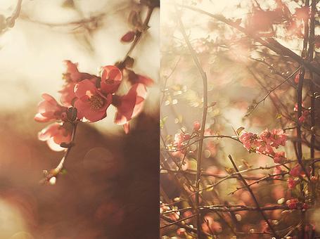 Фото Цветущие ветки сакуры