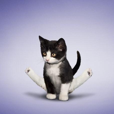 Фото Кот стоит на передних лапах, задрав задние вверх, проект »Кошачья йога» от фотографа Daniel Borris