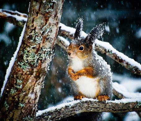 Фото Милая белочка сидит на ветке, идет снег