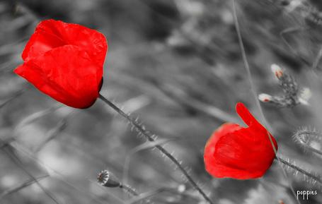 Фото Цветущие маки на поле