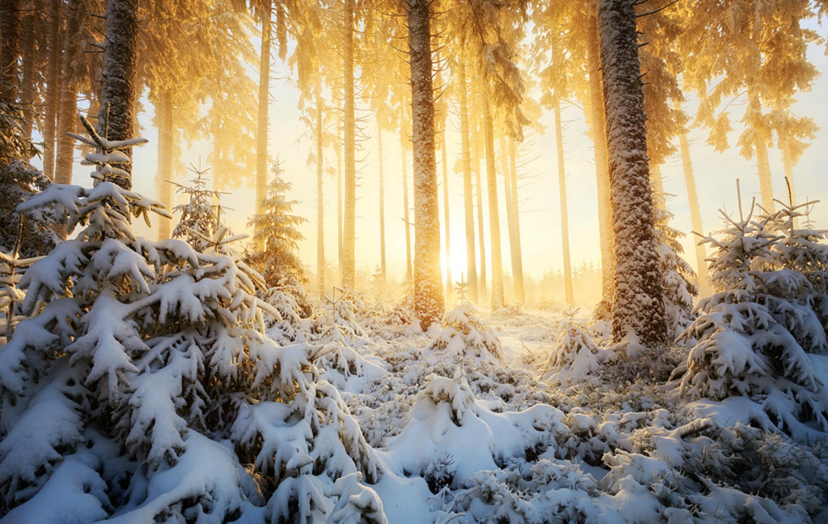 Лес в снегу под солнцем фото