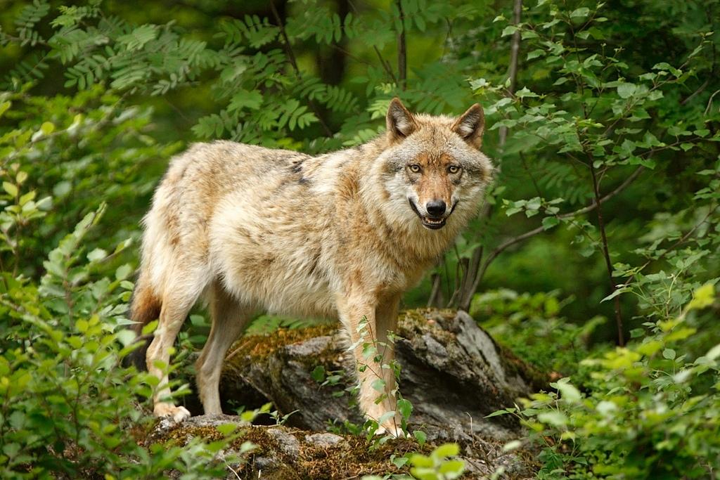 волки в лесах картинки фото что